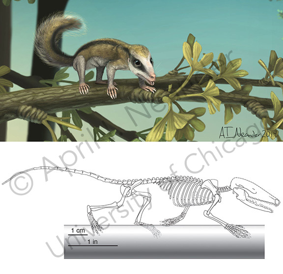 Agilodocodon Reconstruction